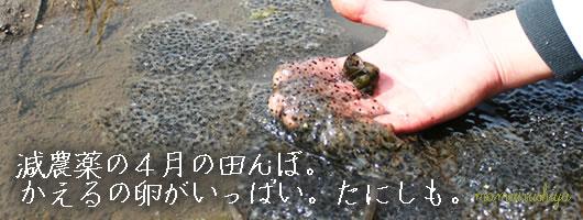 つや姫の田んぼ4月水中昆虫