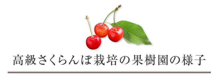 高級さくらんぼ栽培の果樹園の様子